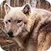 小兔逃脱狼群森林